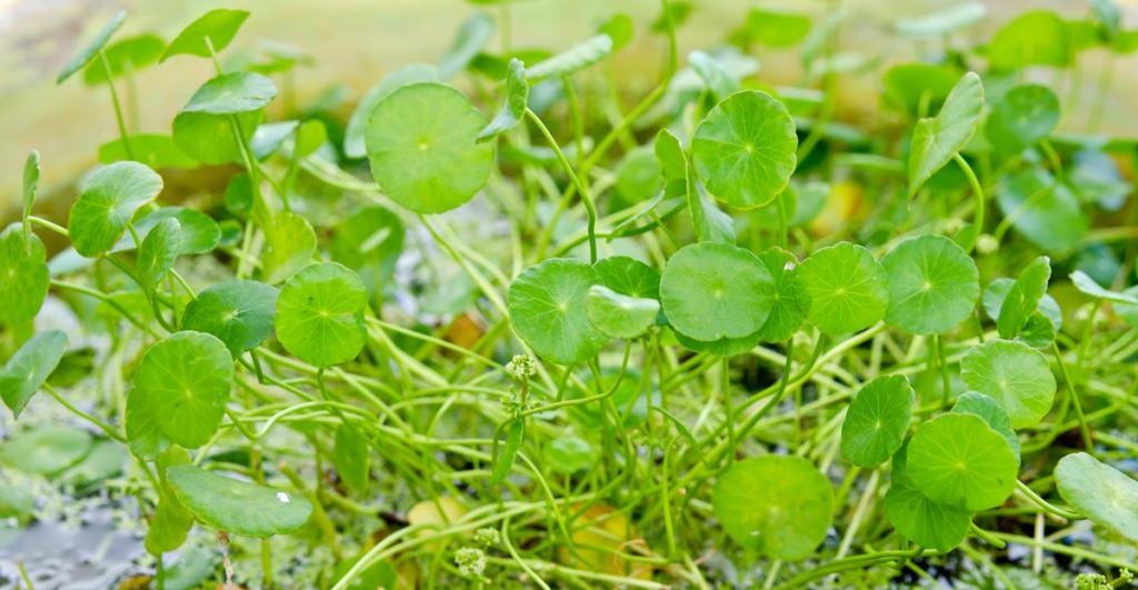 Centella asiatica выращивание 42